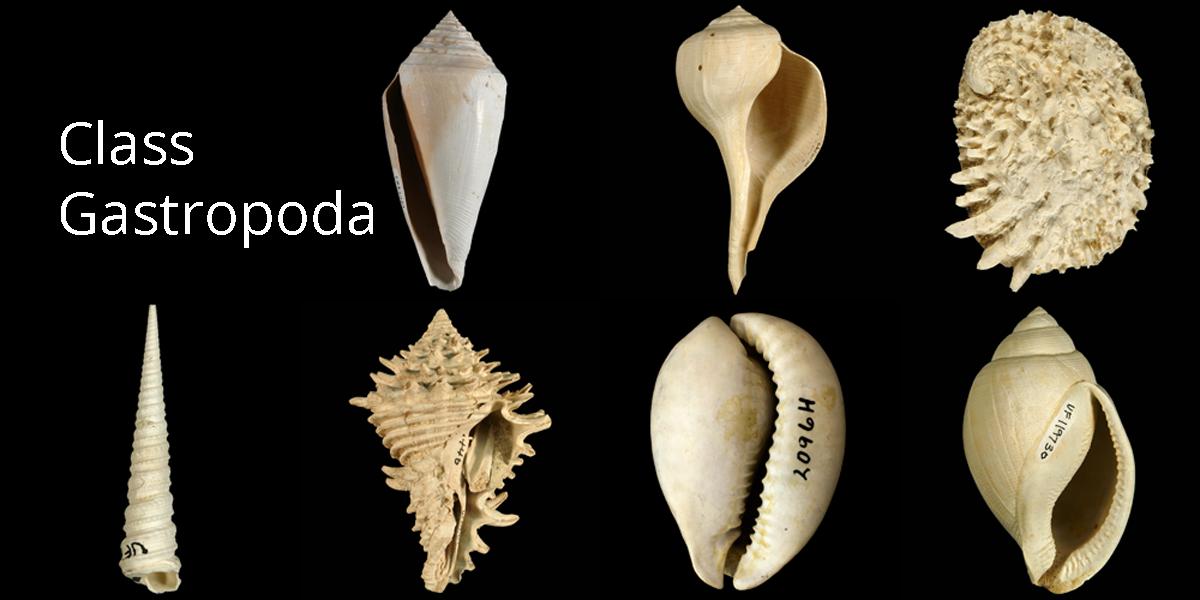 11 1 gastropoda digital atlas of ancient life