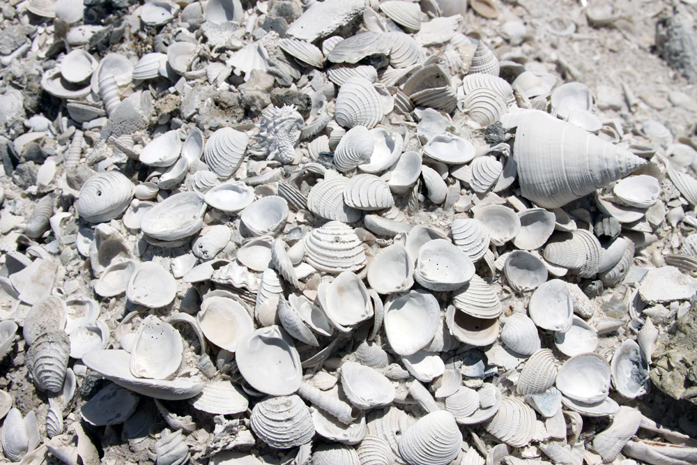 Pliocene-aged fossil mollusk shells exposed by quarrying activity in southern Florida.