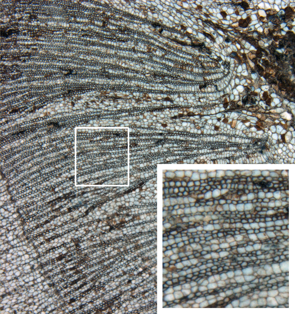 A permineralized plant stem (the cycad Antarcticycas) from the Triassic of Antarctica; inset demonstrates preservation of cellular-level detail. Image provided by the Division of Paleobotany at the University of Kansas Biodiversity Institute and Natural History Museum.