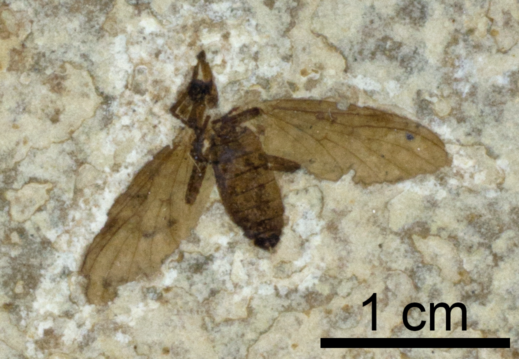 A fossil insect (Plecia pealei, a March fly) from the Eocene Green River Formation of Wyoming, preserved as a carbonization (collections of the Paleontological Research Institution).