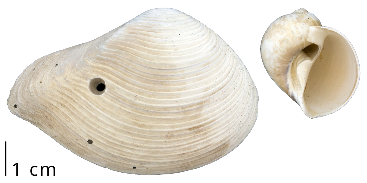 A clam shell (left) with a drill hole left by a predatory naticid snail (right)