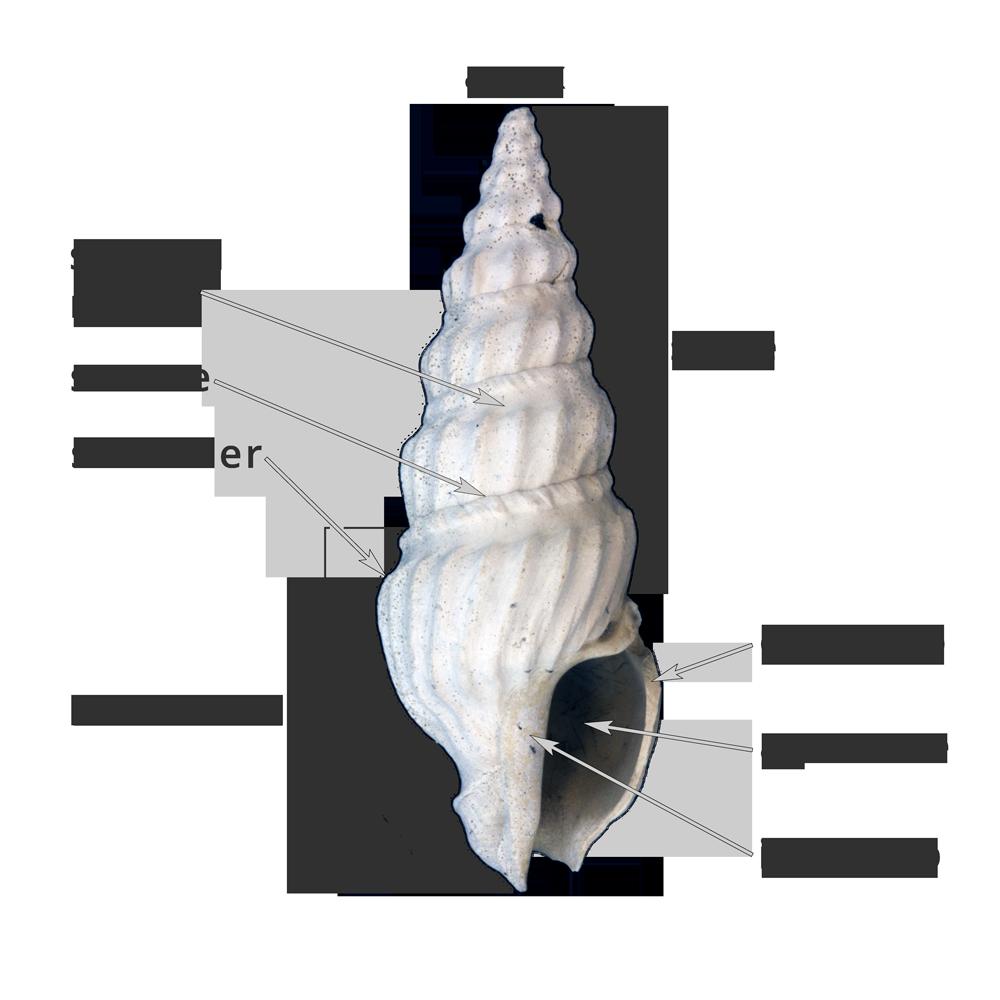 11 1 1 gastropoda shell form digital atlas of ancient life