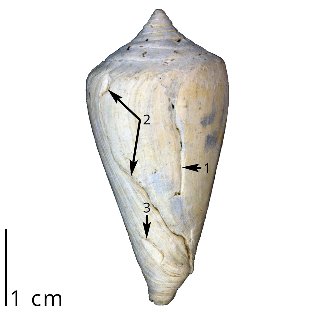 "A fossil cone snail shell showing three different sets of scars left by failed predatory attacks by crabs. We know that the snail survived each attack because new shell was added after the break mark. Such feeding trace fossils are known as ""repair scars."" This shell is a specimen of Conus spurius and was collected from the Tamiami Formation (Pinecrest Beds) of Florida (PRI 70043)."