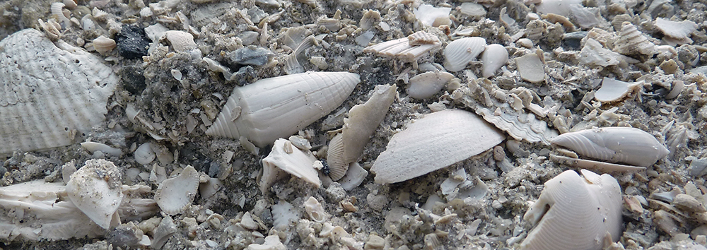 Early Pleistocene mollusk fossils from Florida.
