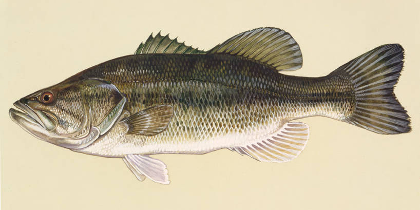 Painting of a largemouth bass.