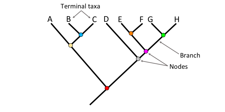 Parts of a phylogenetic tree, including terminal taxa, branches, and nodes.