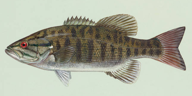 Painting of a smallmouth bass.
