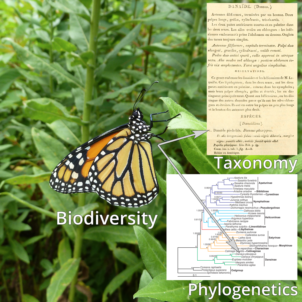 Photograph of a monarch butterfly, with inset images showing the original description of this species, as well as a molecular phylogenetic tree that shows the position of the species.
