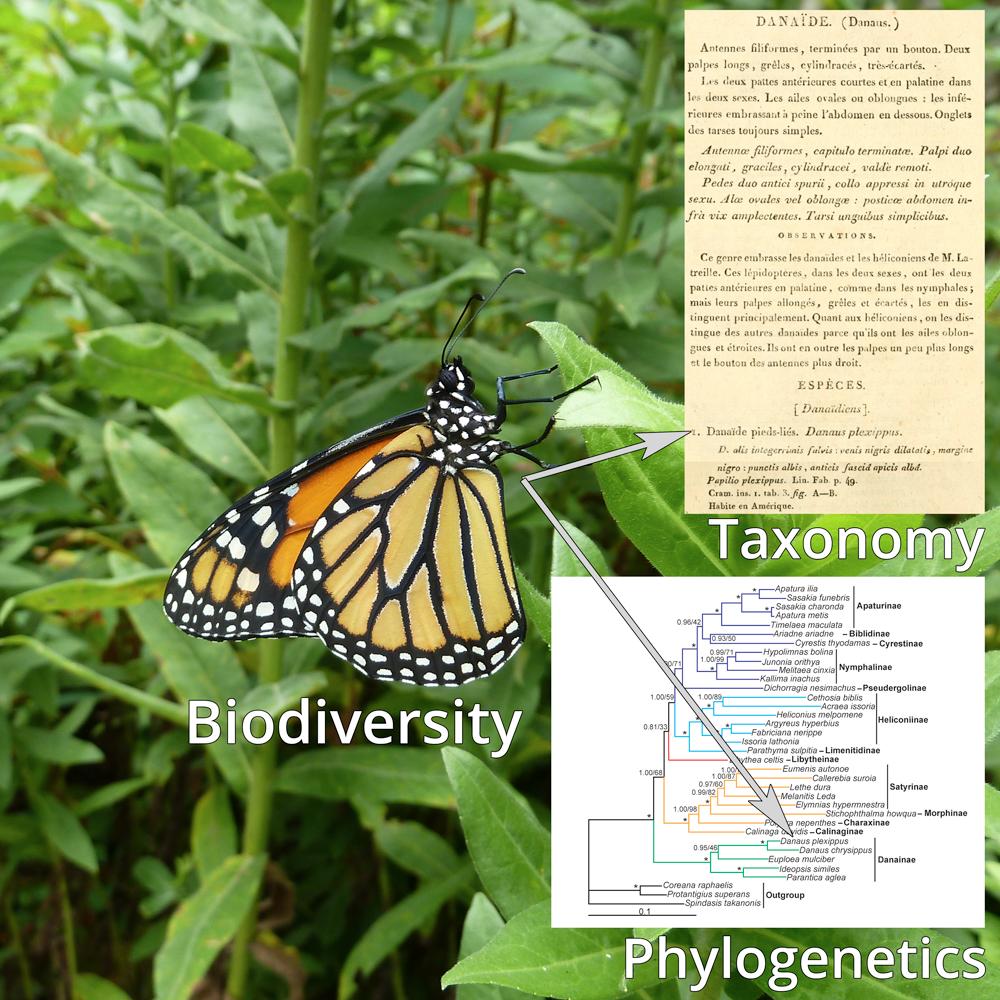 Systematics Monarch Butterfly Biodiversity Taxonomy Phylogenetics