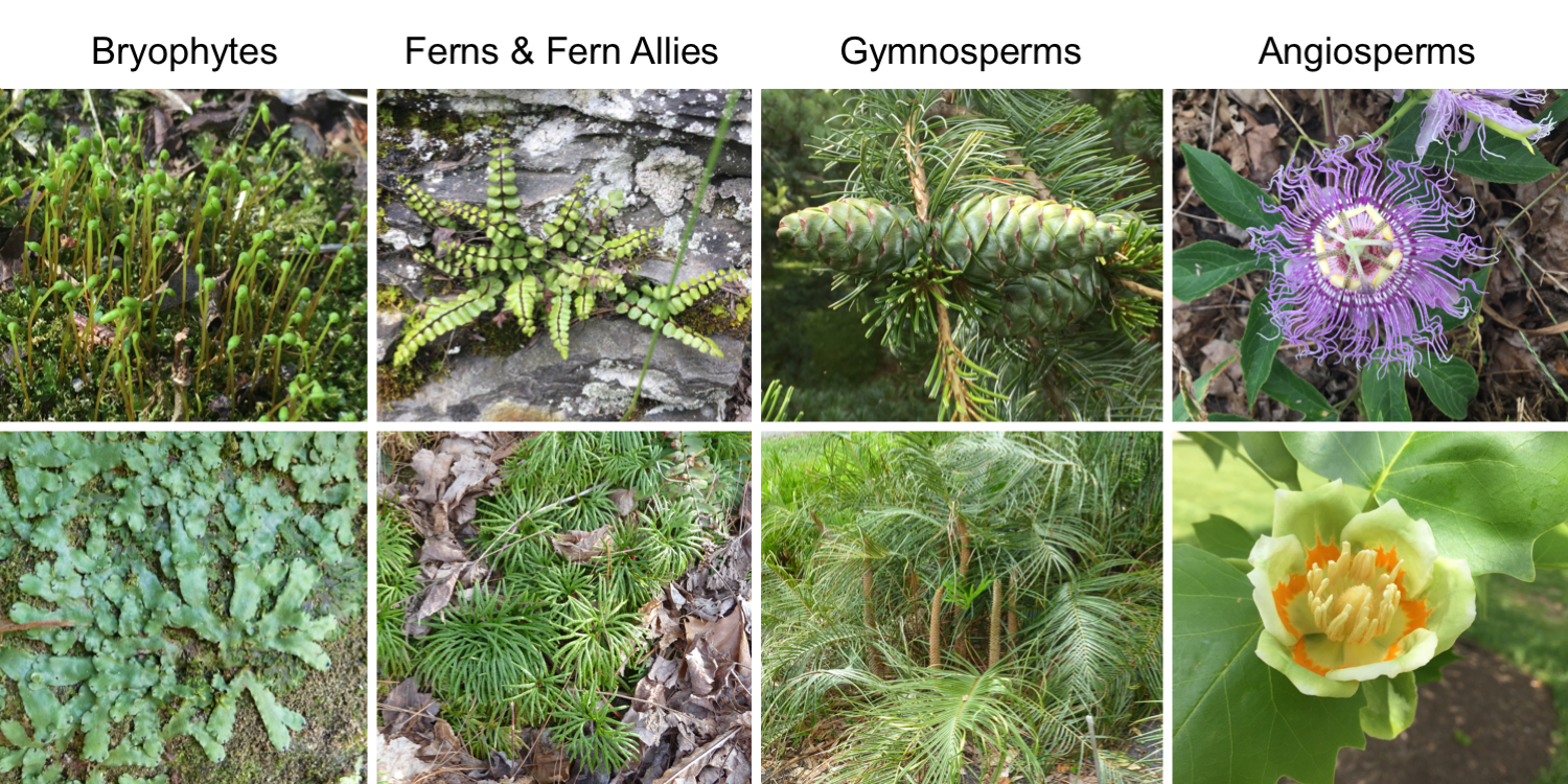 Image shows examples of plants in the four major groups of land plants: bryophytes, ferns and fern allies, gymnosperms, and angiosperms.