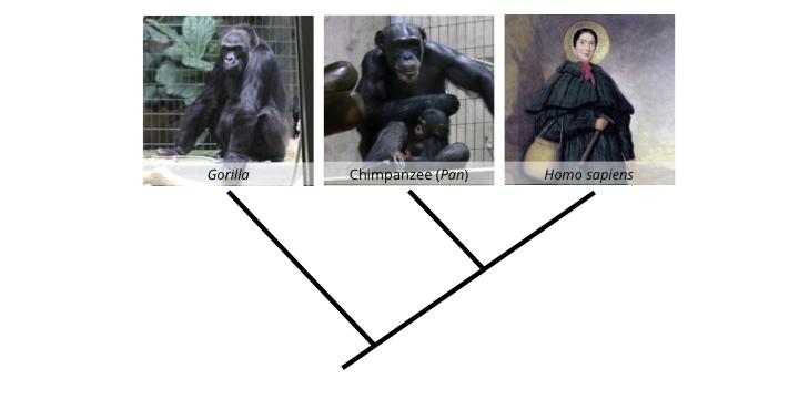 hominid phylogey