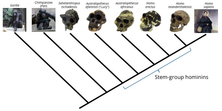 hominin phylogeny