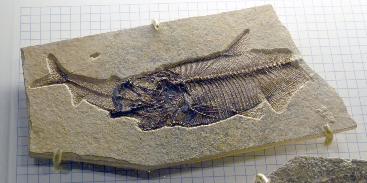 This specimen--from the Eocene Green River Formation--shows the fossilized skeleton of a larger fish (right) that apparently died while eating a smaller fish (left). Specimen on exhibit at Fossil Butte National Monument, Wyoming.