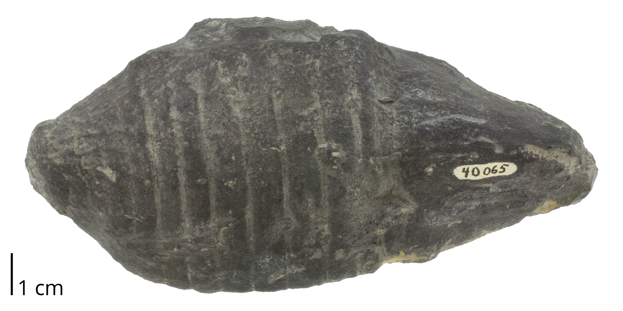 Fossil cephalopod Acleistoceras fischeri from the Devonian Cherry Valley Limestone of Otsego County, New York. The shell of this species is a brevicone.
