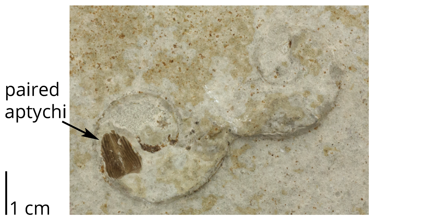 Paired aptychi preserved in the body chamber of an otherwise poorly preserved ammonoid (Lingulaticeras) from the Jurassic Solnhofen Limestone of Germany. Note the second ammonoid fossil to the right.