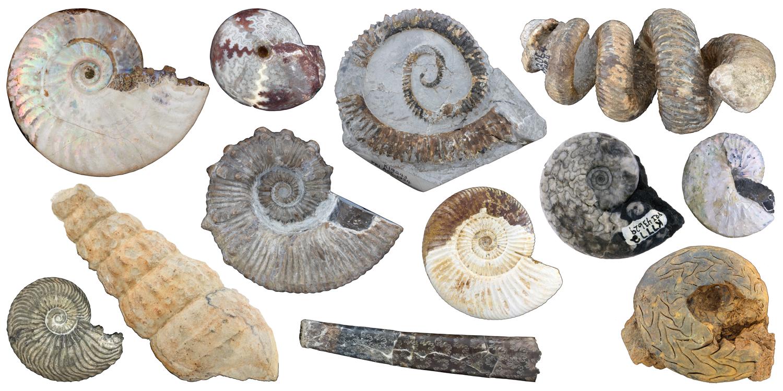 Diversity of Ammonoidea