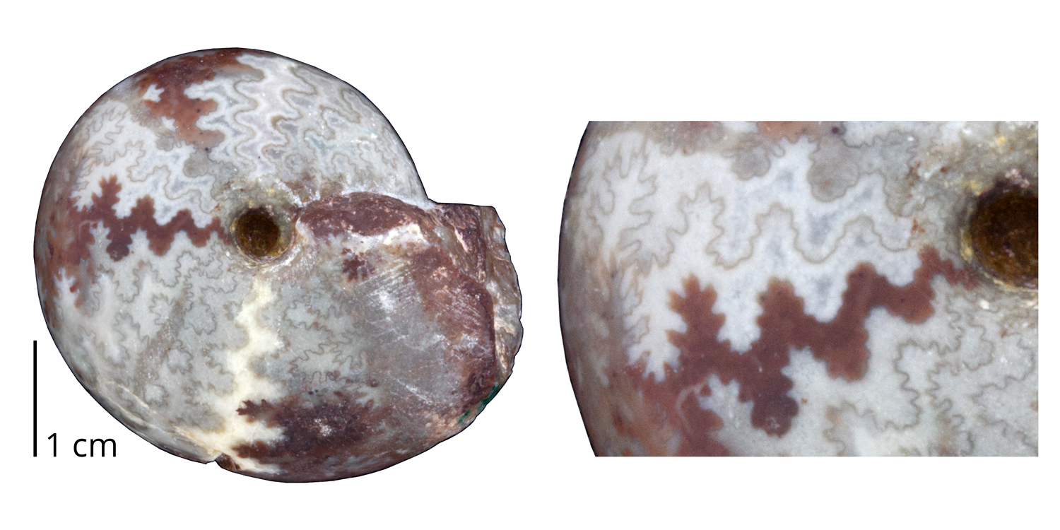 Ammonoite Arcestes pannonicus from the Triassic of Italy. This ammonoid is a rare example of a Triassic species with an ammonitic suture.
