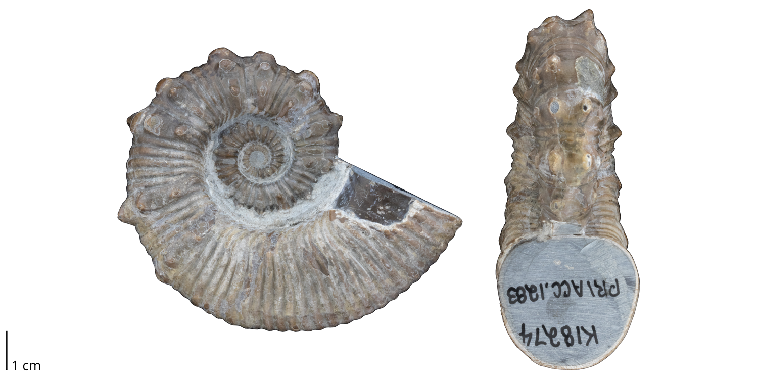 Heteromorph ammonite Australiceras jacki from the Cretaceous of Queensland, Australia. Note the presence of spines on the shell.