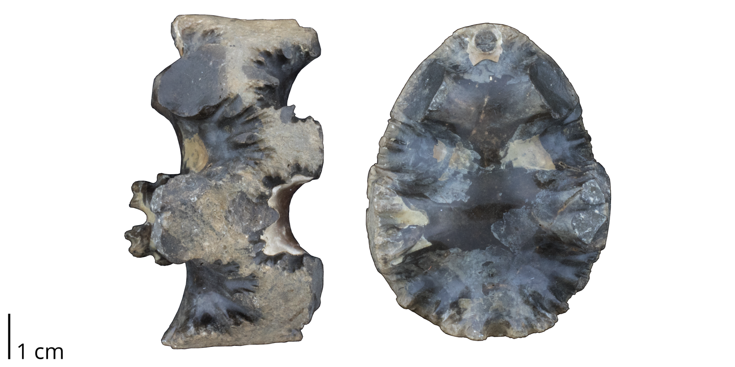 A fragment of Baculites sp. fromt he Cretaceous Pierre Shale of South Dakota. Specimen is an internal mold of a baculite chamber (i.e., sediment that filled a once empty space); very little original shell material (light colored) remains.