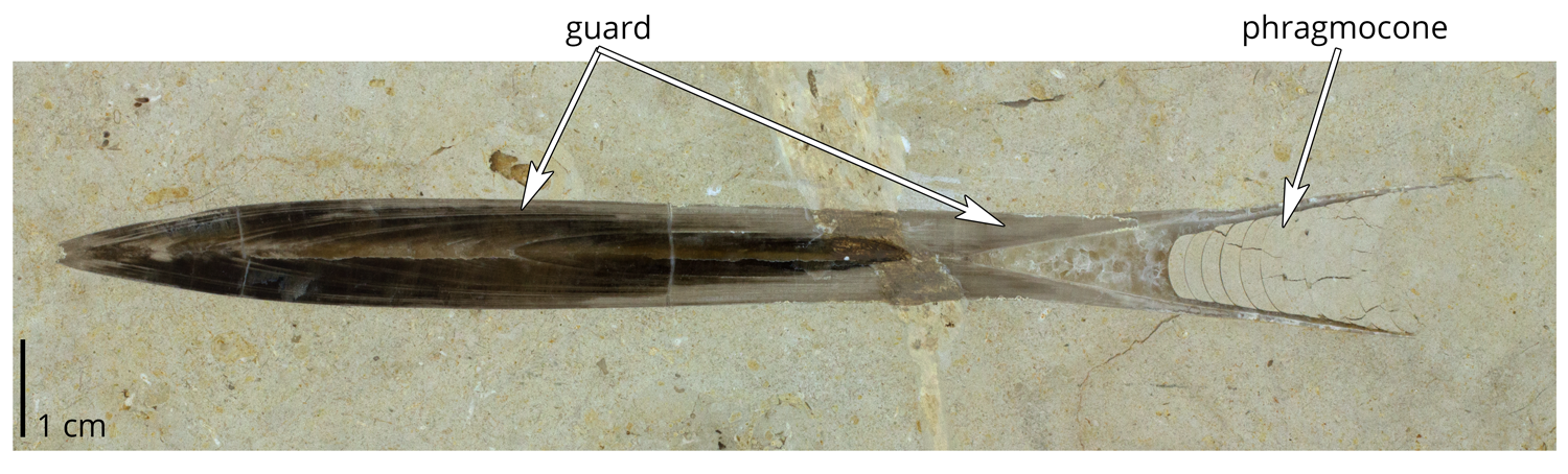 Belemnites hastatus from the Jurassic of Germany, showing details of the internal shell.