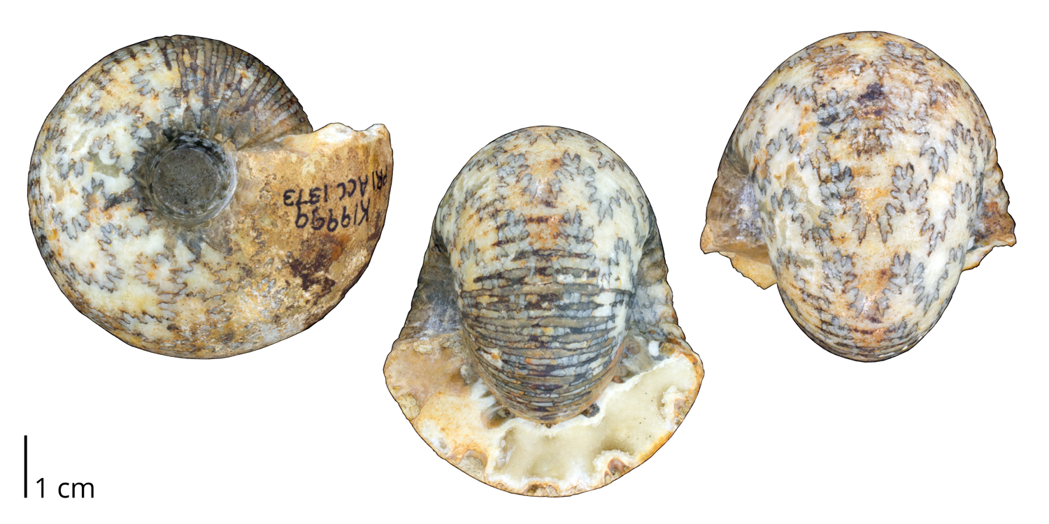 Ammonoite Cadoceras sublaevis from the Jurassic of central England. Note that the original shell is almost completely removed.