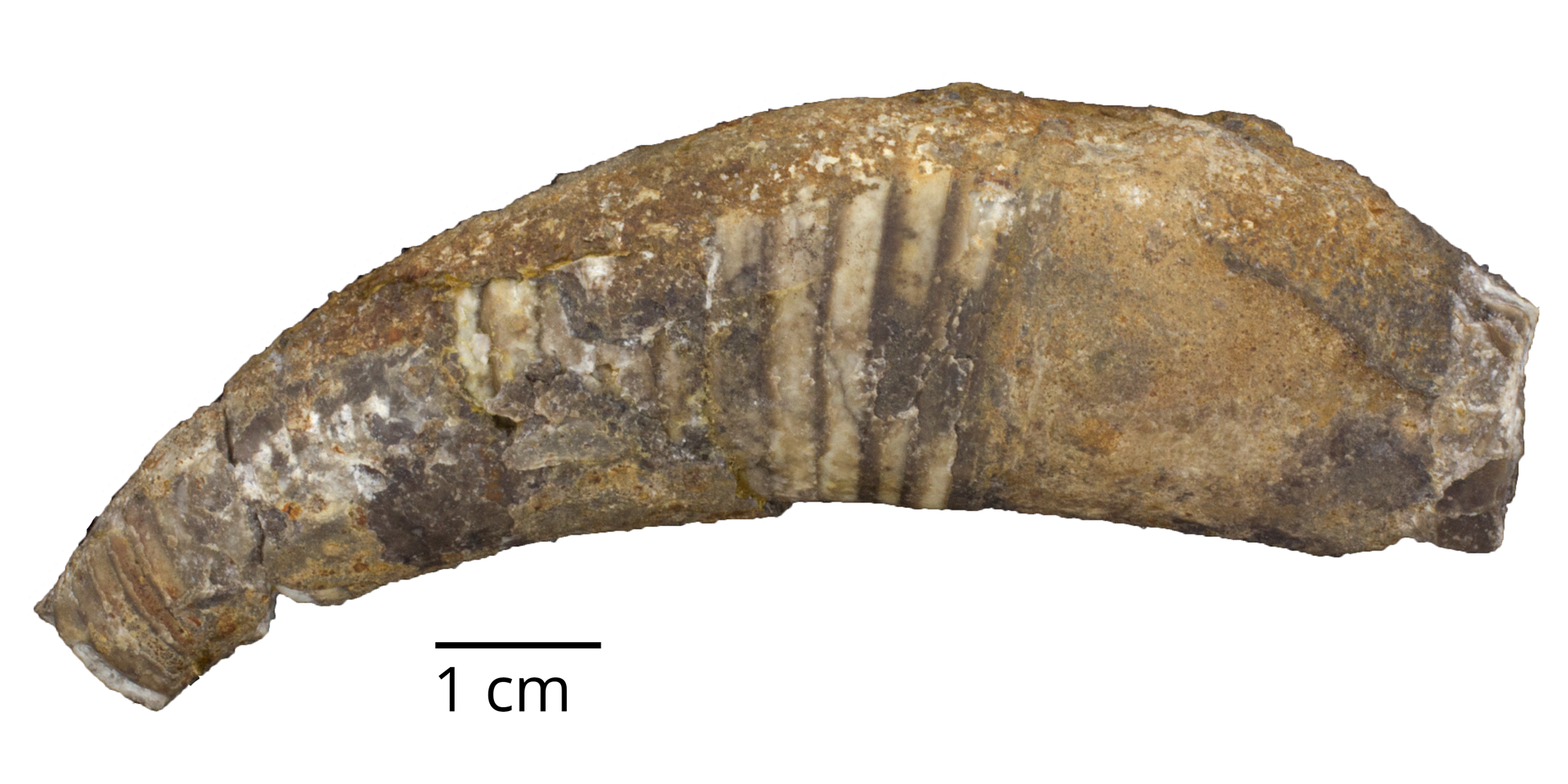 Fossil cephalopod Cyrtoceras aequale from Bohemia.