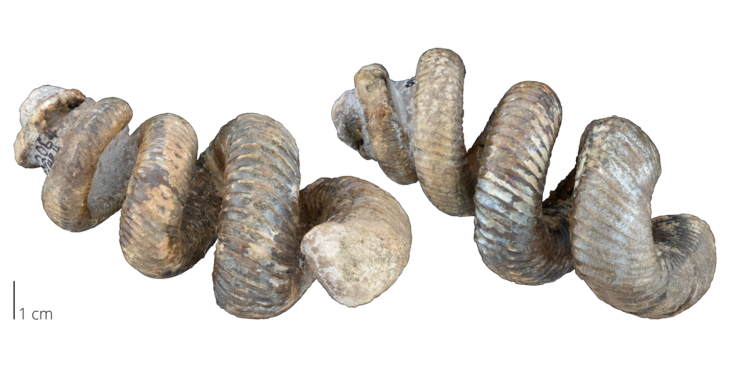 Uncoiled heteromorph ammonite Didymoceras otsukai from the Cretaceous period.