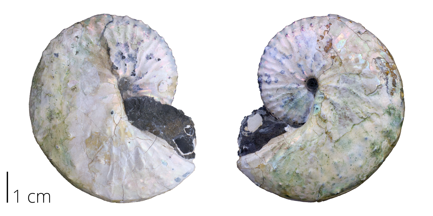 Heteromorph ammonite Discoscaphites conradi from the Cretaceous (Maastrichian) Fox Hills Formation of South Dakota. Note that the original shell exhibits an iridescent sheen and bears a couple of rows of spines.