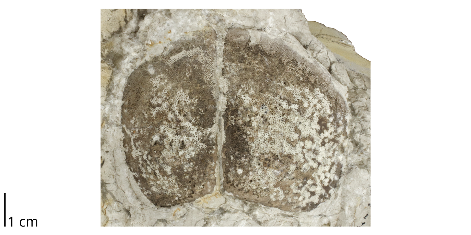 Aptychi pair from the Jurassic Solnhofen Limestone of Germany.