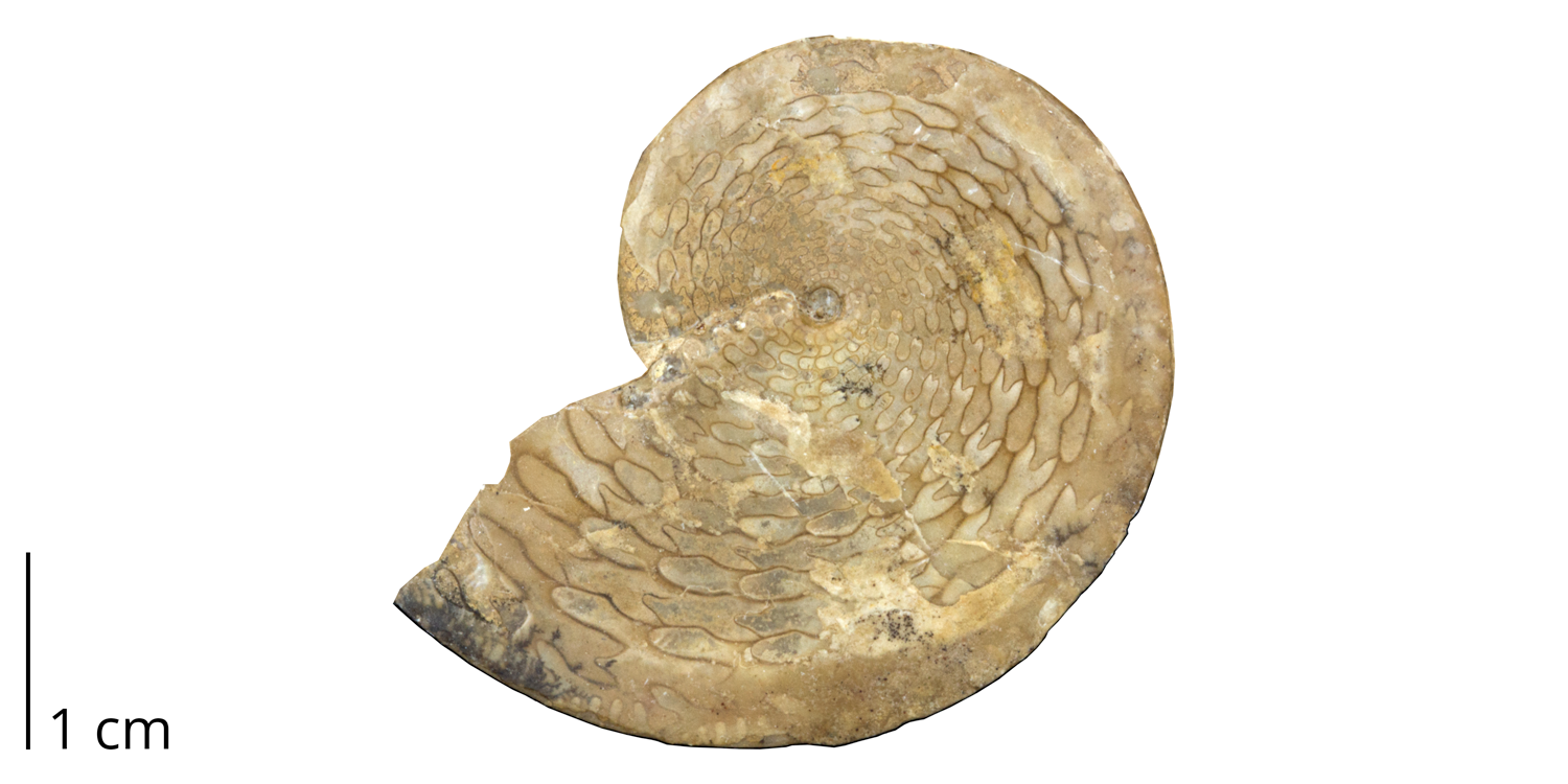 Ceratite ammonoid Medliocottia intermedius from the Permian of the Ural Mountains, Russia. While ceratite sutures are characteristic of the Triassic, this is a rare example of a late Paleozoic species that bears such a suture.