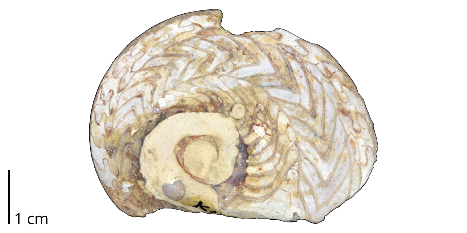 Goniatite ammonoid Neodimorphoceras plummerae from the Pennsylvanian Finish Shale of Jack County, Texas.