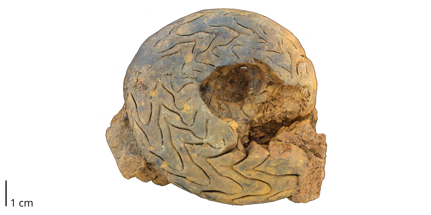 "Goniatite ammonoid Pseudopara legoceras from the Pennsylvanian Atoka Formation of Oklahoma. This fossil is preserved as an internal mold; no original shell material remains (thus, the ""sutures"" are preserved as gaps between sediment-filled chambers)."