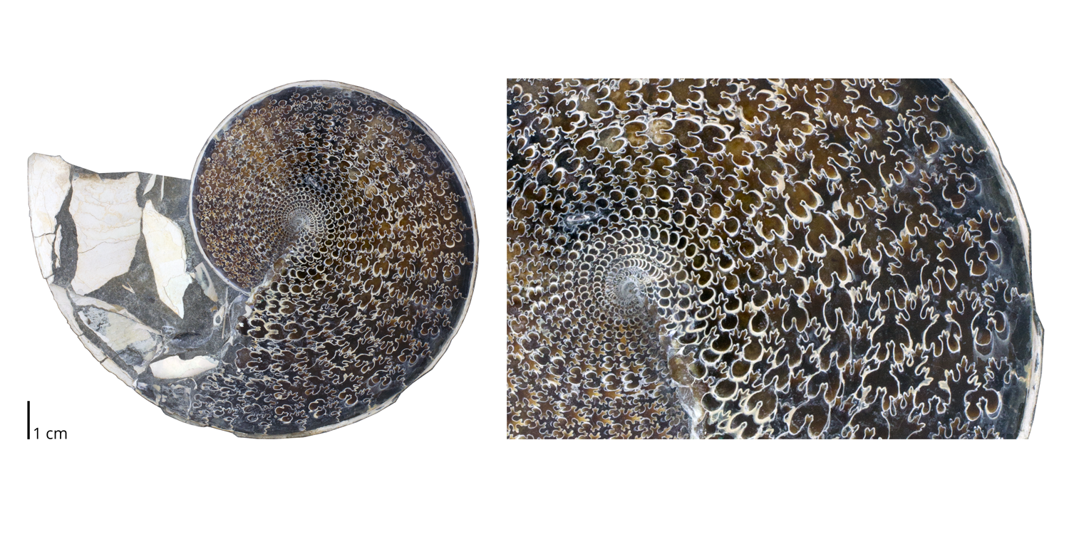 Ammonite phenodiscus lenticularis.