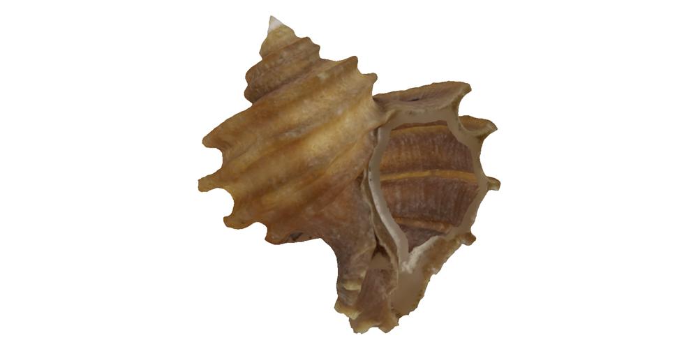 Gastropoda