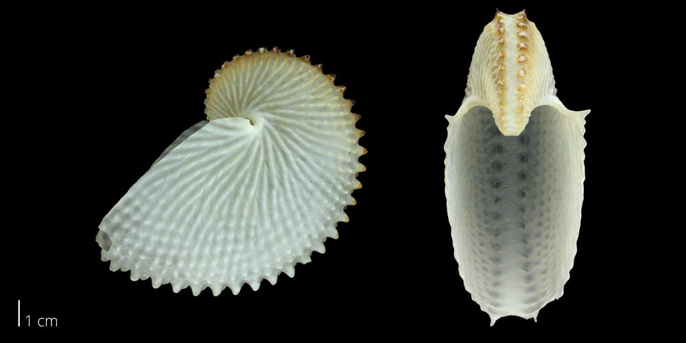 argonaut shell paper nautilus
