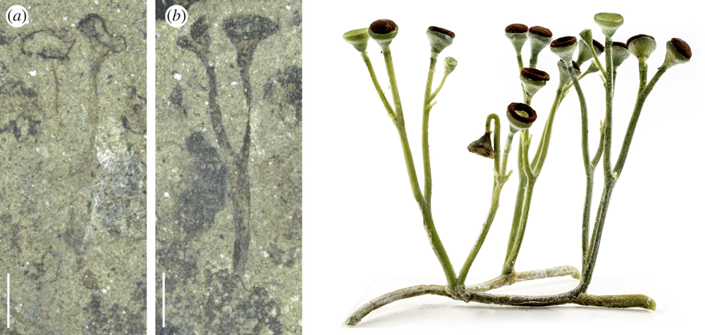 3-Panel figure. Panels 1-2: Specimen of Cooksonia showing branching sporophyte. Panel 3: Model of Cookonia showing branching sporophyte.