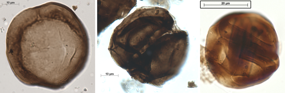 Examples of Ordovician cryptospores, which lack a trilete mark.
