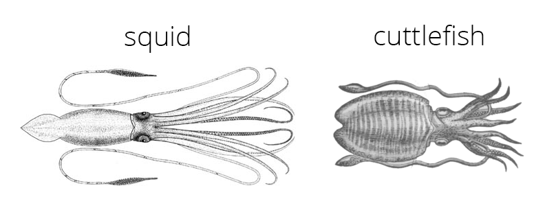 Drawings of a squid and cuttlefish, examples of Decapodiformes.