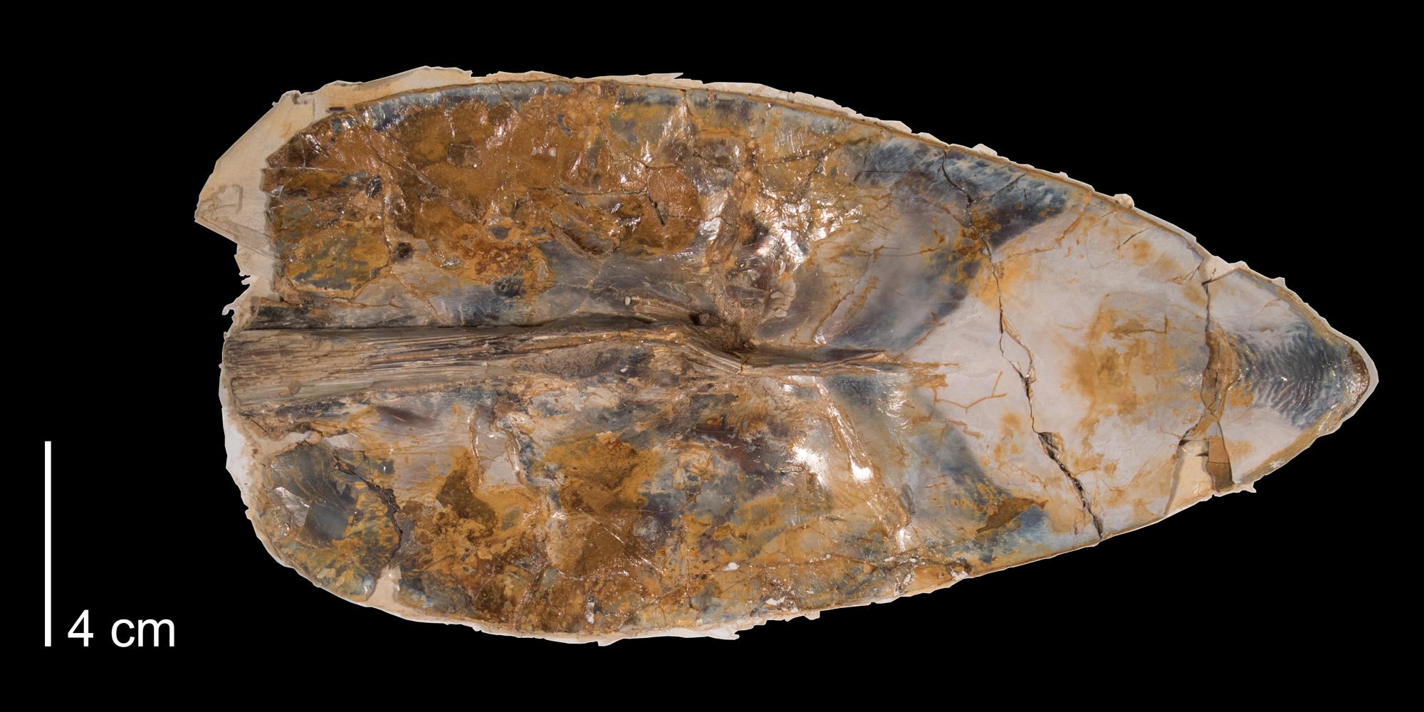 Fossil cephalopod gladius Enchoteuthis melanae