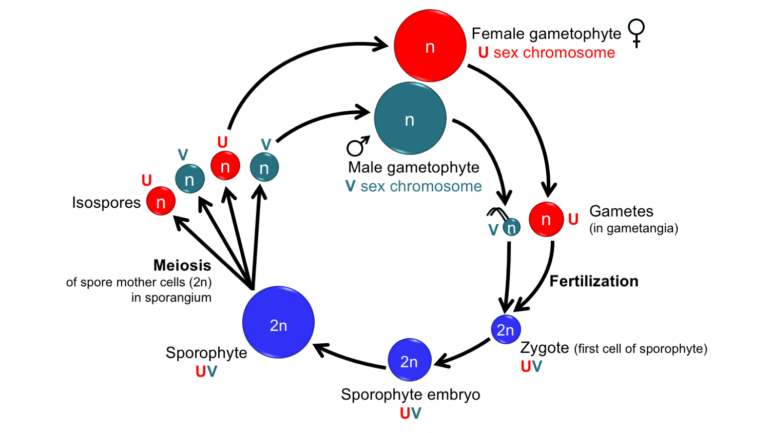 Diagram showing the life cycle of a land plant with unisexual gametophytes and sex chromosomes.