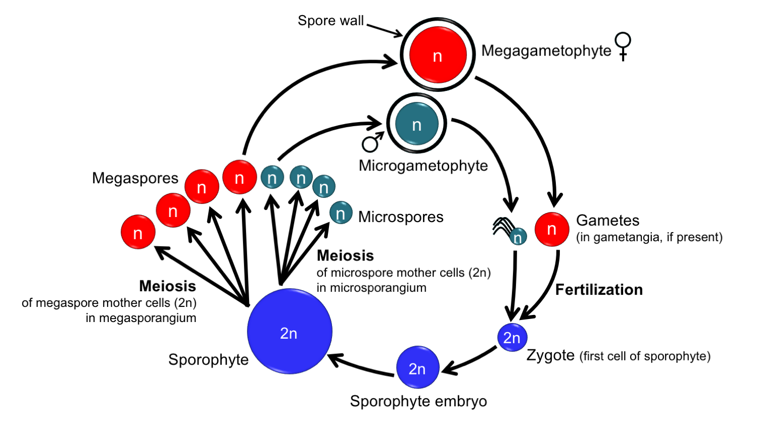 Diagram showing the generalized life cycle of a heterosporous plant.