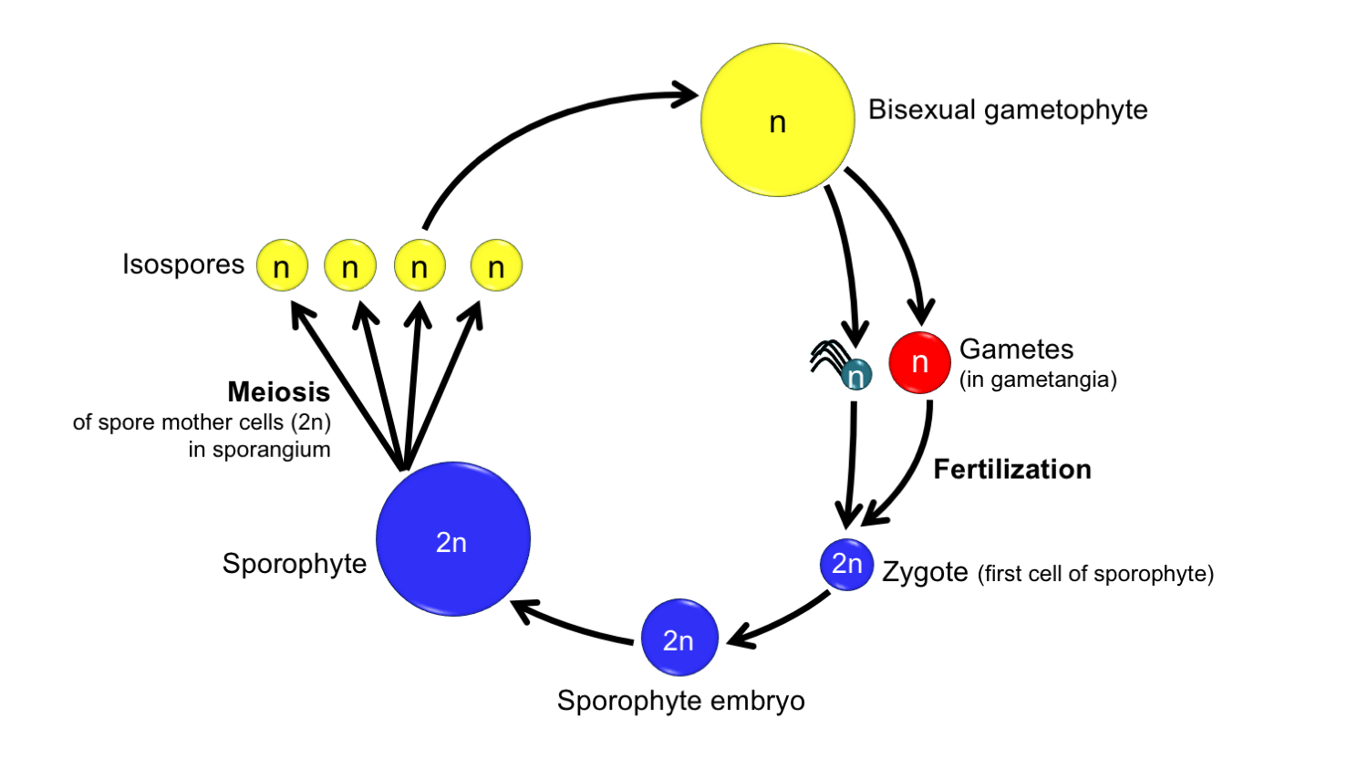 Diagram of the life cycle of a homosporous plant with bisexual gametophytes.