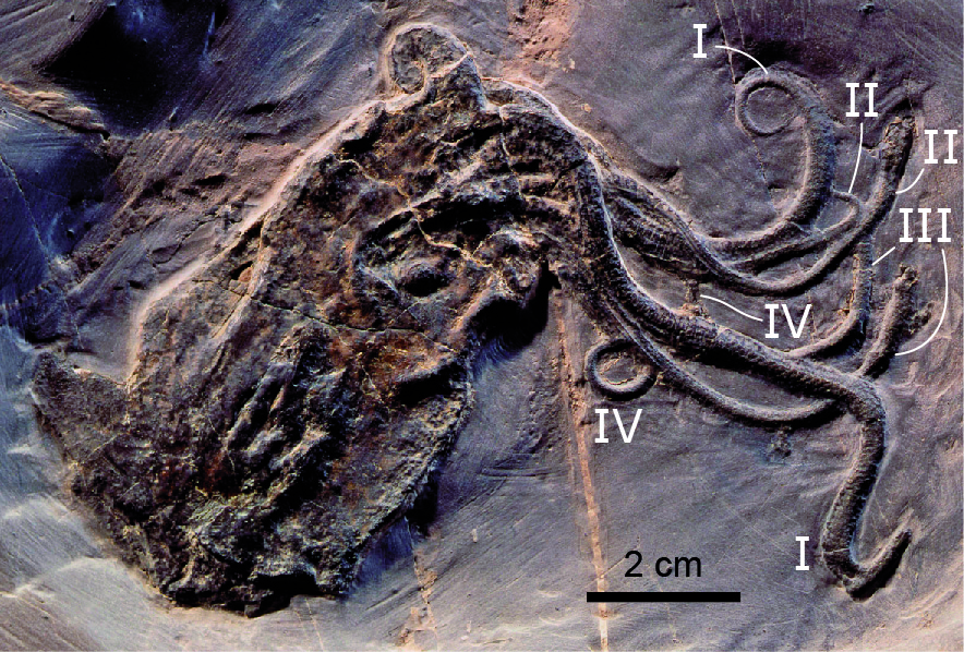 Fossil specimen of the Jurassic octopod Proteroctopus ribeti from the La-Voulte-sur-Rhône lagerstatte of France. The roman numerals identify the four pairs of arms.