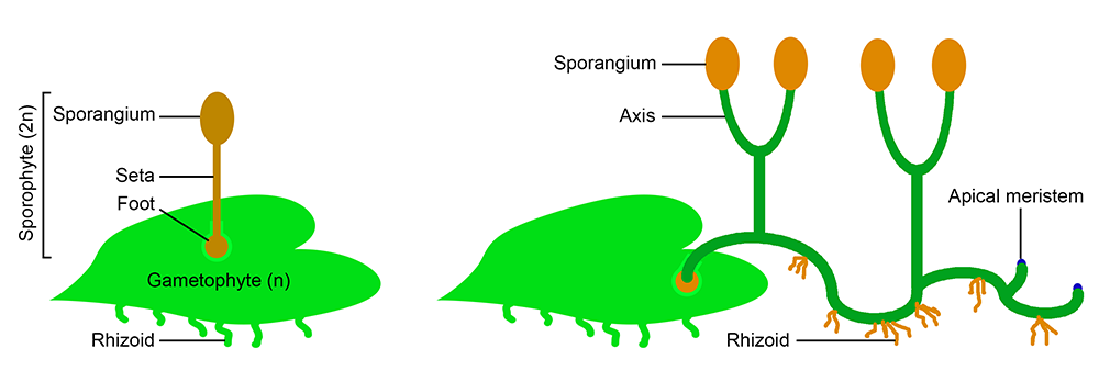 Left: Diagram of an unbranched bryophyte sporophyte with one sporangium. Right: Diagram of branched polysporangiophyte sporophyte with multiple sporangia and rhizoids (anchoring structures).