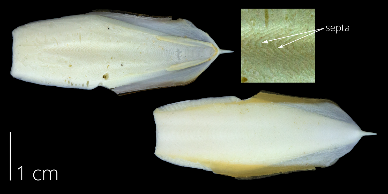 "A ""cuttlebone,"" the internal, chambered shell of a cuttlefish (Sepia)."