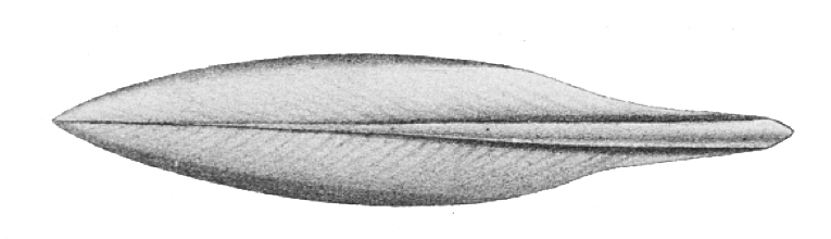 Drawing of the gladius of the extant squid Sepioteuthis lessoniana.
