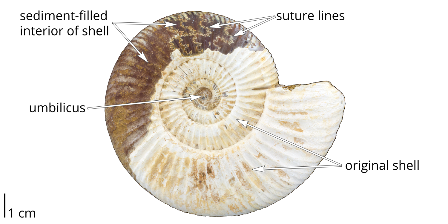 External and internal ammonoid shell features.