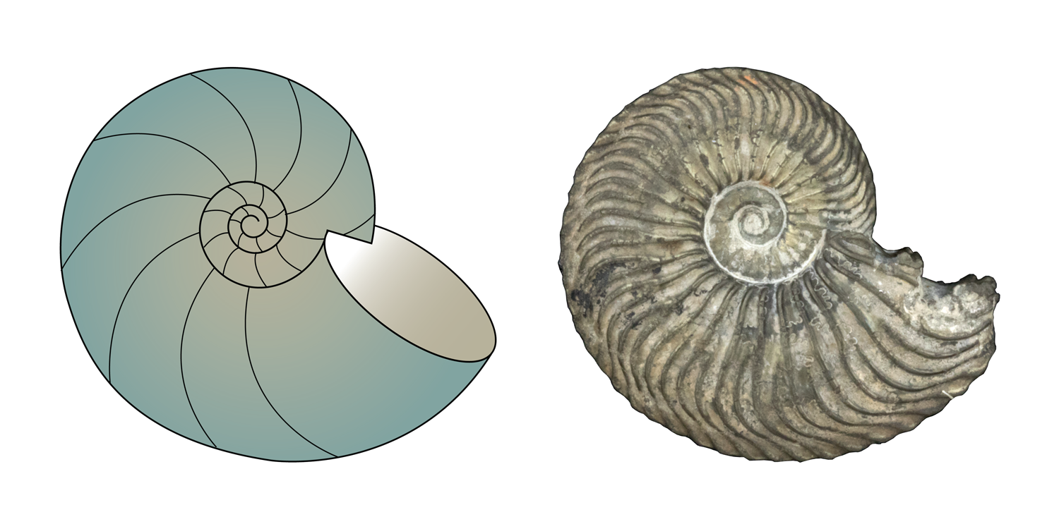 Left: cartoon illustration of a cephalopod shell with convolute coiling. Right: specimen of the ammonite Quenstedtoceras sp., which has convolute coiling; from the collections of the Paleontological Research Institution, Ithaca, New York.