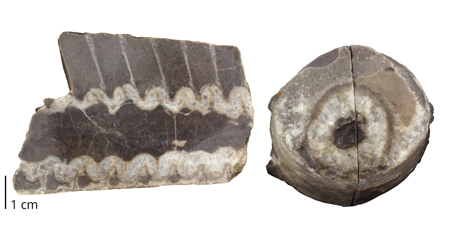 Fossil nautiloid cephalopod Endoceras multilobatum from the Ordovician Black River Limestone of Jefferson County, New York.