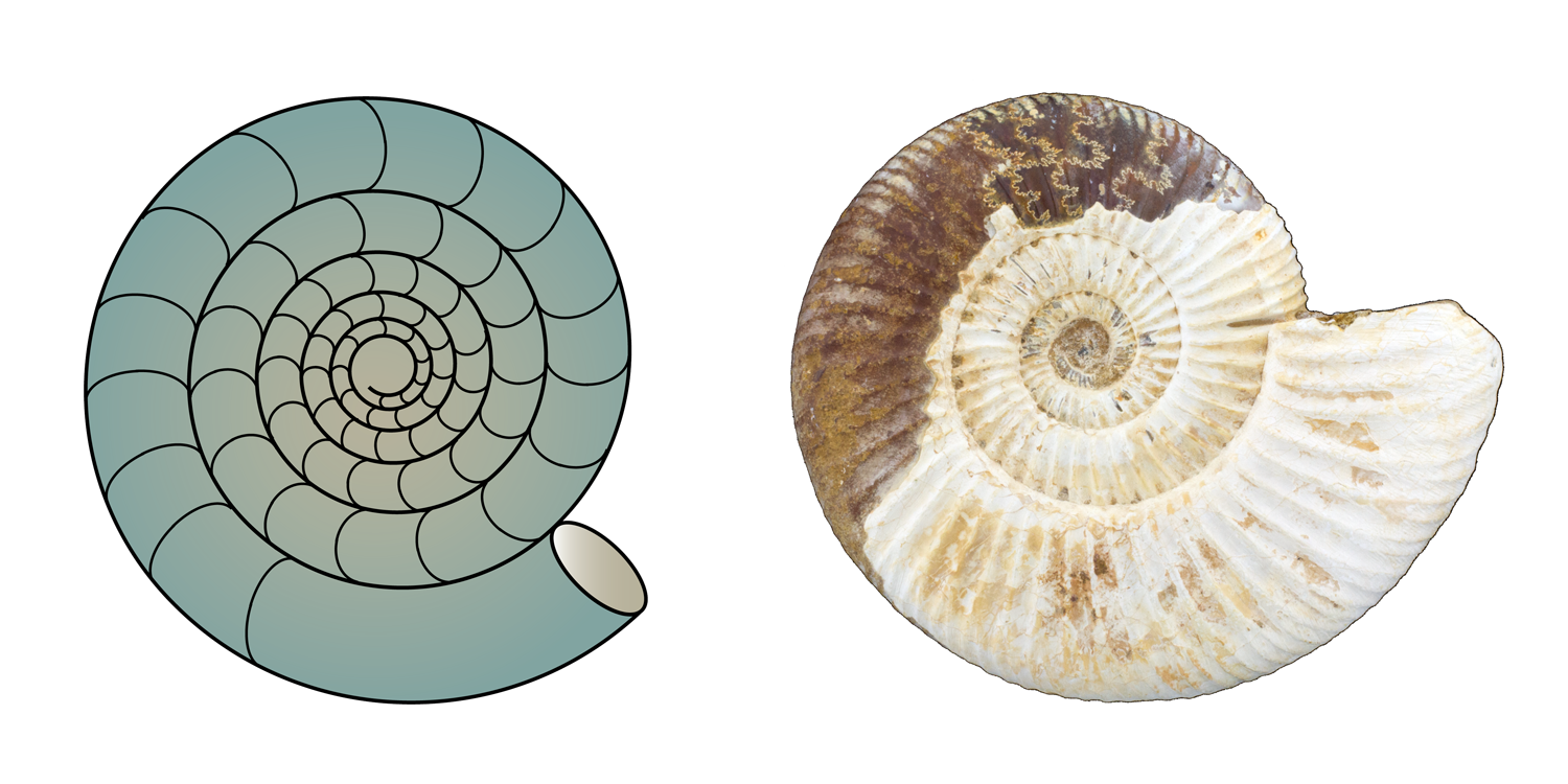 Examples of evolute shell coiling in ammonoids.